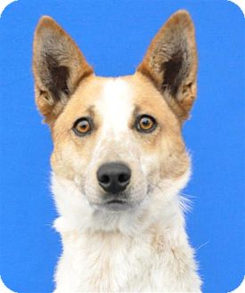 Cattle Dog/Australian Cattle Dog Mix Dog for adoption in Pagosa Springs, Colorado - Jack