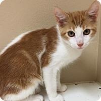 Domestic Mediumhair Kitten for adoption in Cumming, Georgia - Charlie