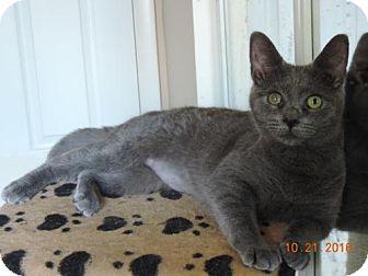 Domestic Shorthair Kitten for adoption in Philadelphia, Pennsylvania - Clarice