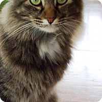 Maine Coon Cat for adoption in Kingwood, Texas - Josephine