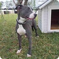 Pit Bull Terrier Mix Dog for adoption in Rosenberg, Texas - A009504