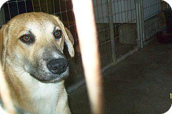 Labrador Retriever/Black Mouth Cur Mix Dog for adoption in Mexia, Texas - Nia