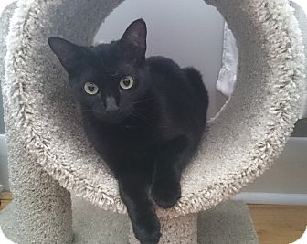 Domestic Shorthair Cat for adoption in THORNHILL, Ontario - Caviar