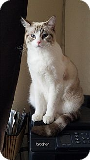 Siamese Cat for adoption in Riverside, California - Yeti