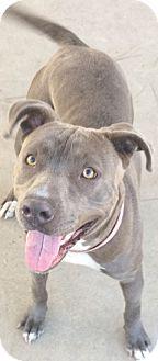 Pit Bull Terrier Dog for adoption in Chula Vista, California - Gossip