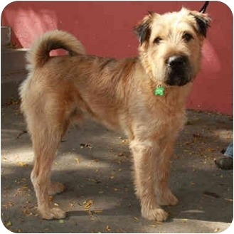 Chuck | Adopted Dog | Denver, CO | Airedale Terrier/Shar ...