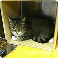 Domestic Shorthair Cat for adoption in Muncie, Indiana - Chip