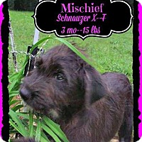 Adopt A Pet :: Mischief pending adoption - Manchester, CT