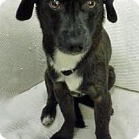 Adopt A Pet :: Cinder (male) - Yorba Linda, CA