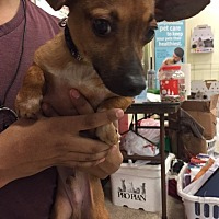 Chihuahua Mix Dog for adoption in Fresno, California - Jenkins
