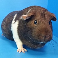 Guinea Pig for adoption in Lewisville, Texas - Rarity