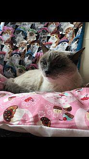 Siamese Cat for adoption in Nuevo, California - Ms. Valentine