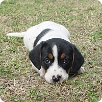 Adopt A Pet :: Sister Sweet - Glastonbury, CT