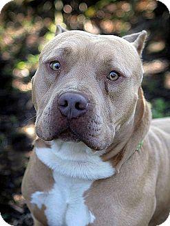 American Pit Bull Terrier Dog for adoption in Berkeley, California - Arthur