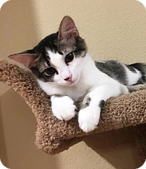 Domestic Shorthair Kitten for adoption in Orange, California - Lucy