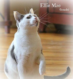 Domestic Shorthair Cat for adoption in Glen Mills, Pennsylvania - Ellie Mae