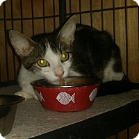 Domestic Shorthair Cat for adoption in Tampa, Florida - Brandon