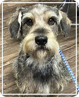 Schnauzer (Miniature)/Labrador Retriever Mix Dog for adoption in Los Alamitos, California - Lucky