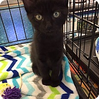 Adopt A Pet :: Licorice - Mansfield, TX