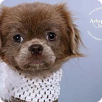 Adopt A Pet :: Khaleesi - Staten Island, NY