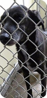 Labrador Retriever Mix Dog for adoption in Van Wert, Ohio - Sioux