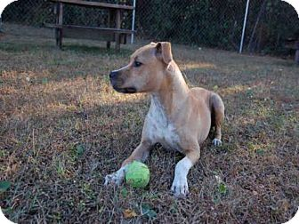 Boxer Mix Dog for adoption in Panama City, Florida - CAPTAIN