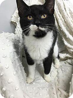 Domestic Shorthair Kitten for adoption in Paducah, Kentucky - Bernie