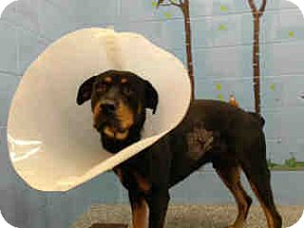 Rottweiler Mix Dog for adoption in San Bernardino, California - URGENT on 12/1 SAN BERNARDINO