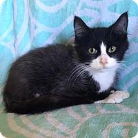 Adopt A Pet :: Fendi - Addison, IL