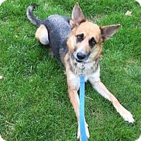 German Shepherd Dog Dog for adoption in Gilberts, Illinois - Brigid