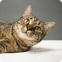 Domestic Shorthair Cat for adoption in Houston, Texas - Catalie Portman