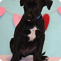 Adopt A Pet :: Zevi - Waldorf, MD