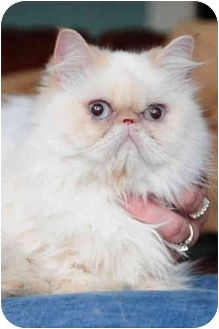 Himalayan Cat for adoption in Columbus, Ohio - Juliet