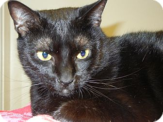 Domestic Shorthair Cat for adoption in Miami, Florida - Nia