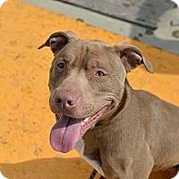Adopt A Pet :: Duke - Des Peres, MO