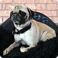Adopt A Pet :: Fergi-Adoption pending - Bridgeton, MO