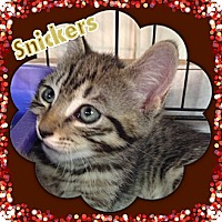 Adopt A Pet :: Snickers - Bradenton, FL