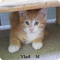 Adopt A Pet :: Vlad - Bentonville, AR