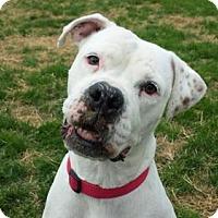 Adopt A Pet :: Larissa - Westminster, MD