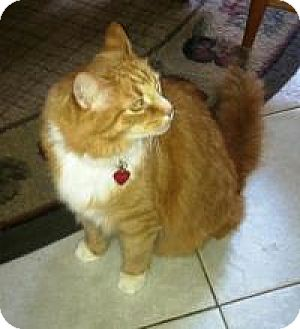Maine Coon Cat for adoption in Medford, New Jersey - Luke (Rita's Cat)