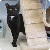 Adopt A Pet :: Earl (a St. Thomas, USVI kitty) - Alexandria, VA