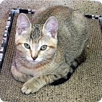 Adopt A Pet :: Kitten Electra - Seal Beach, CA