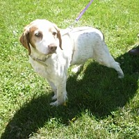 Brittany Dog for adoption in Brewster, Massachusetts - TN/Max