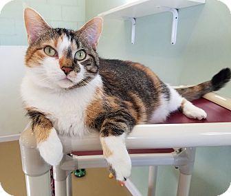 Calico Cat for adoption in La Crescent, Minnesota - Chloe * Supermodel