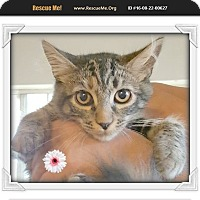 Maine Coon Kitten for adoption in Los Angeles, California - Shaylene