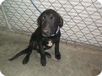 Golden Retriever/Labrador Retriever Mix Puppy for adoption in Bonifay, Florida - Hillary