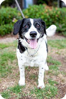 Border Collie/Labrador Retriever Mix Dog for adoption in San Diego, California - Kingston