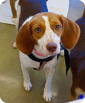 Beagle Mix Dog for adoption in Rexford, New York - Sadie
