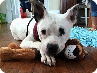 American Staffordshire Terrier Mix Dog for adoption in Radford, Virginia - Angel