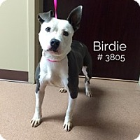 American Pit Bull Terrier Mix Dog for adoption in Alvin, Texas - Birdie